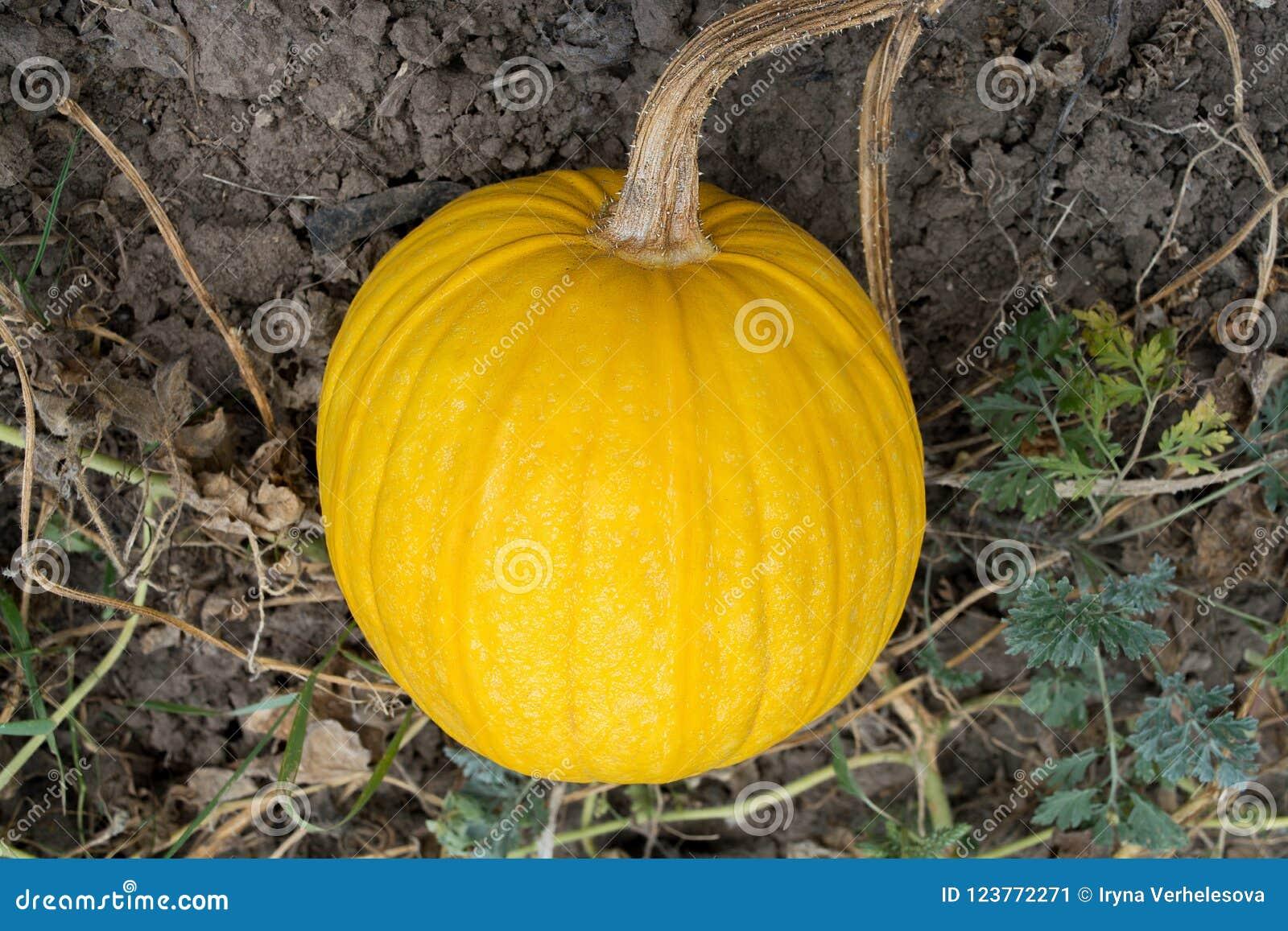 Calabaza madura amarilla en el campo