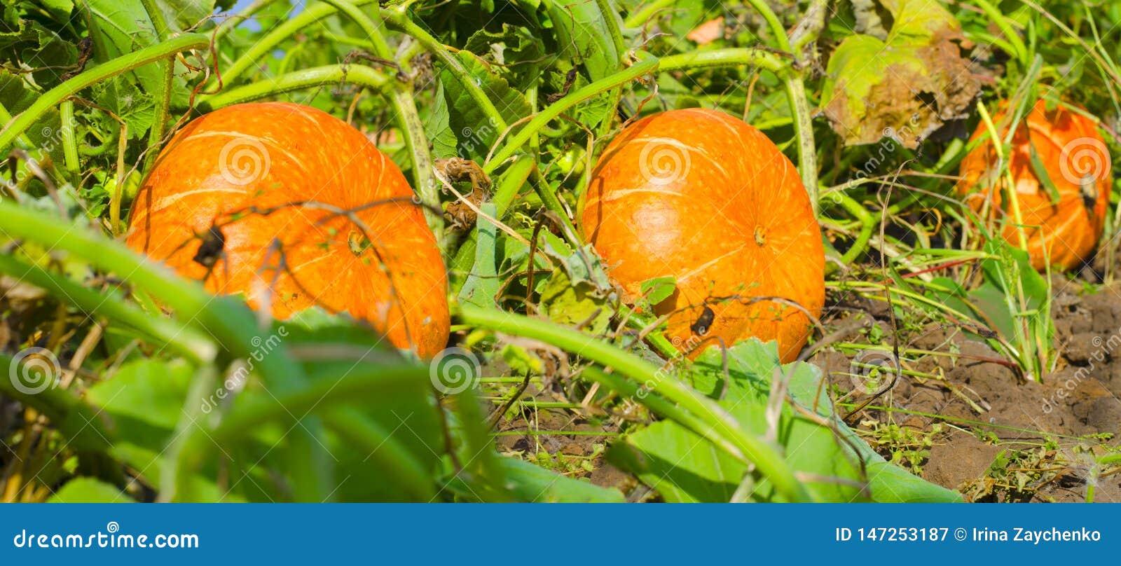 Calabazas anaranjadas en el mercado al aire libre del granjero Correcci?n de la calabaza