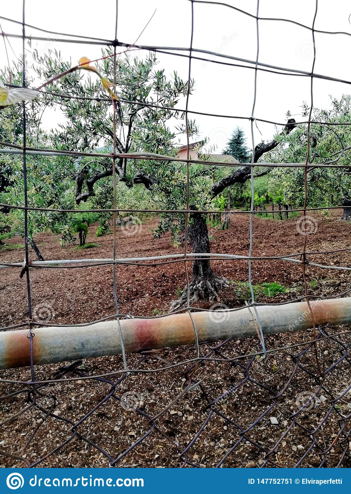 Calabrese额外处女橄榄油的优秀生产的橄榄树