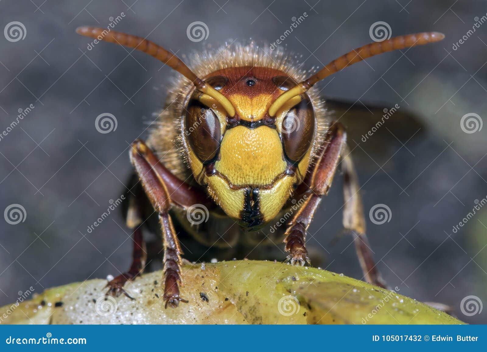 3838442ba4 Calabrone #01 fotografia stock. Immagine di yellow, pericolo - 105017432