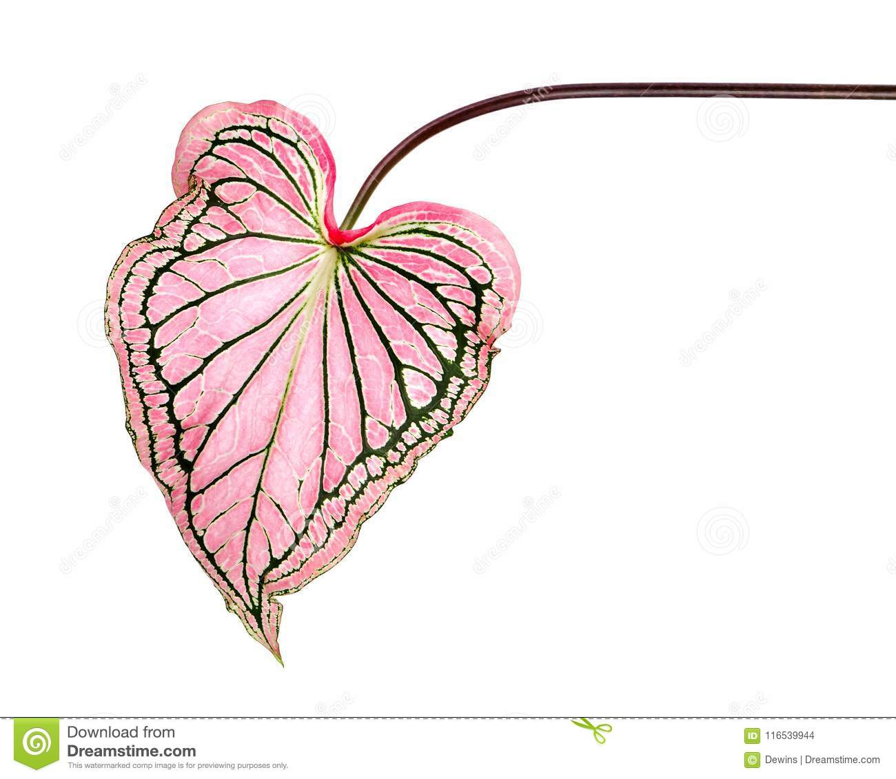 Caladium bicolor with pink leaf and green veins Florida Sweetheart, Pink Caladium foliage isolated on white background