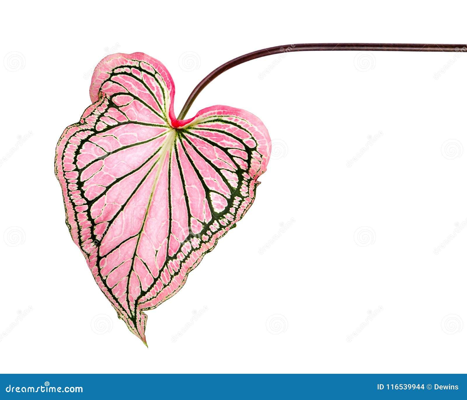 Caladium tweekleurig met roze blad en het groene Liefje van adersflorida, Roze die Caladium-gebladerte op witte achtergrond wordt