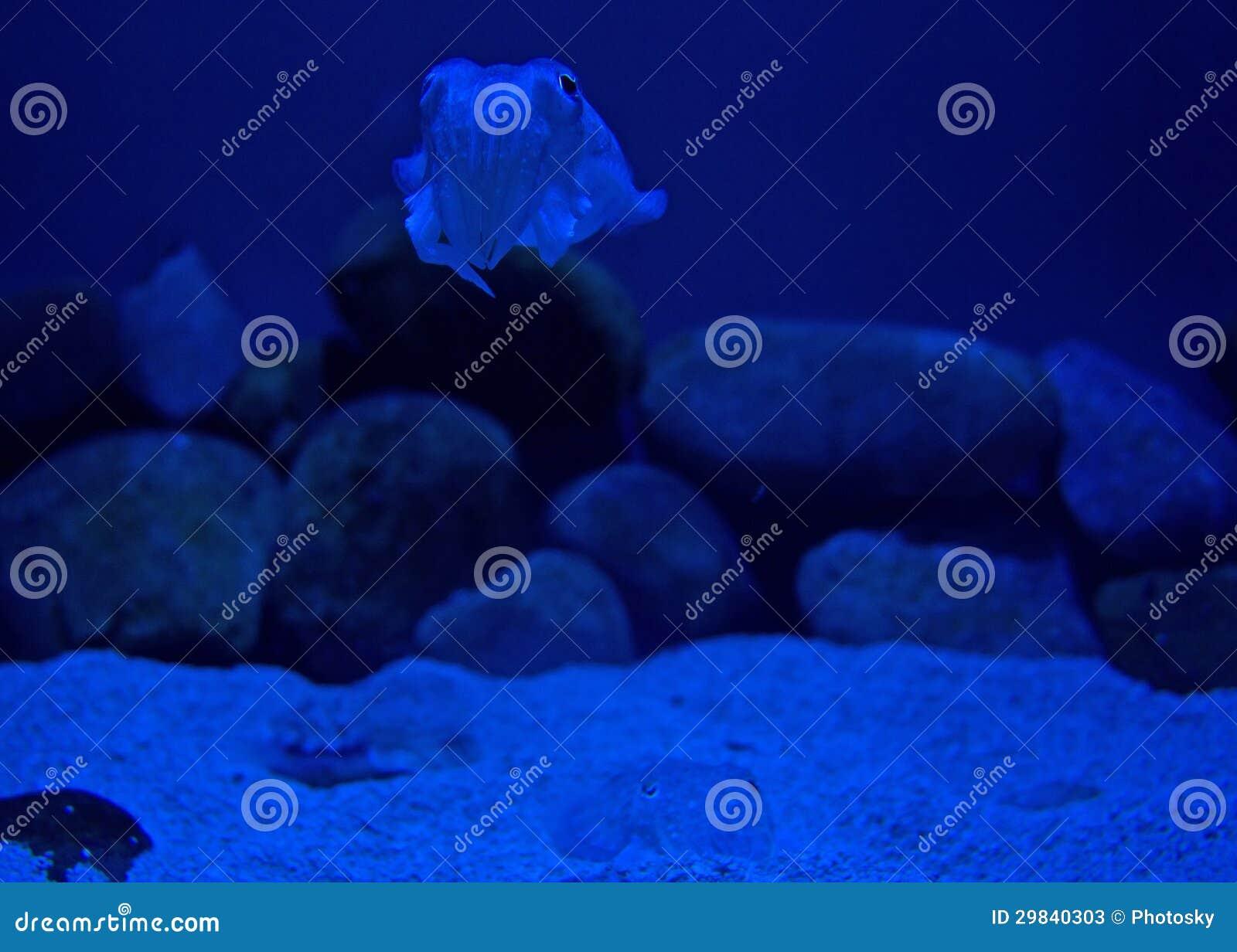Calamar da Profundo-água
