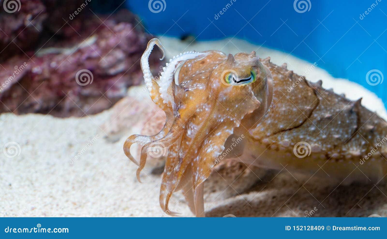 Calamar en el acuario de Japón, ciudad del brillo del sol