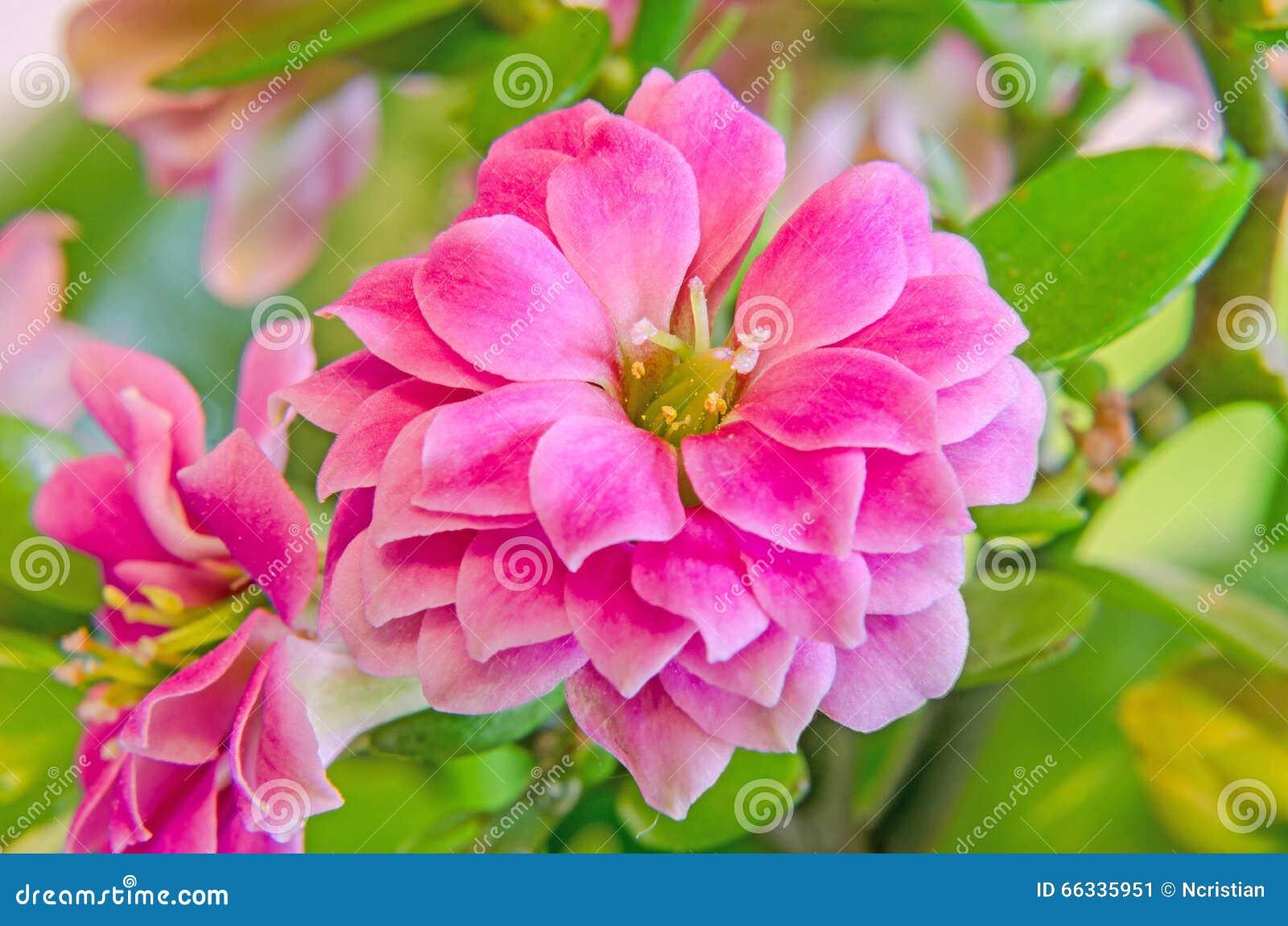 Calandiva rosado florece, Kalanchoe, Crassulaceae de la familia, cierre para arriba, fondo de la pendiente del bokeh