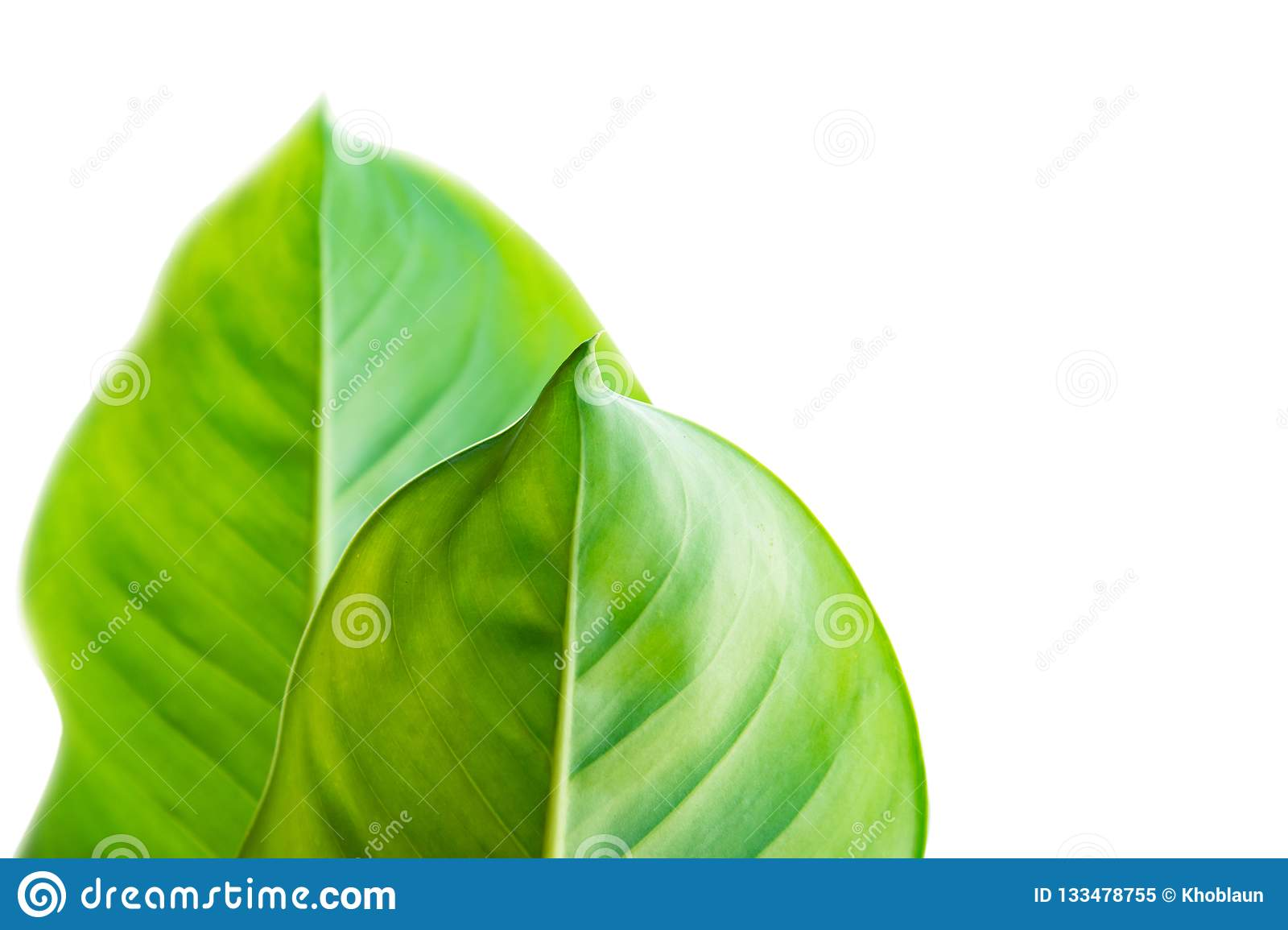 Calathea foliage, Exotic tropical leaf, Large green leaf, Dieffenbachia leaf, isolated on white background with clipping path.