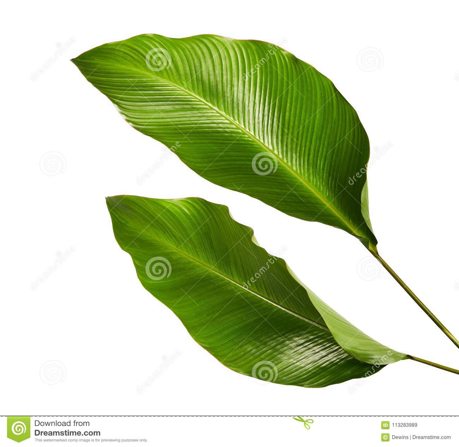 Calathea foliage, Exotic tropical leaf, Large green leaf, isolated on white background