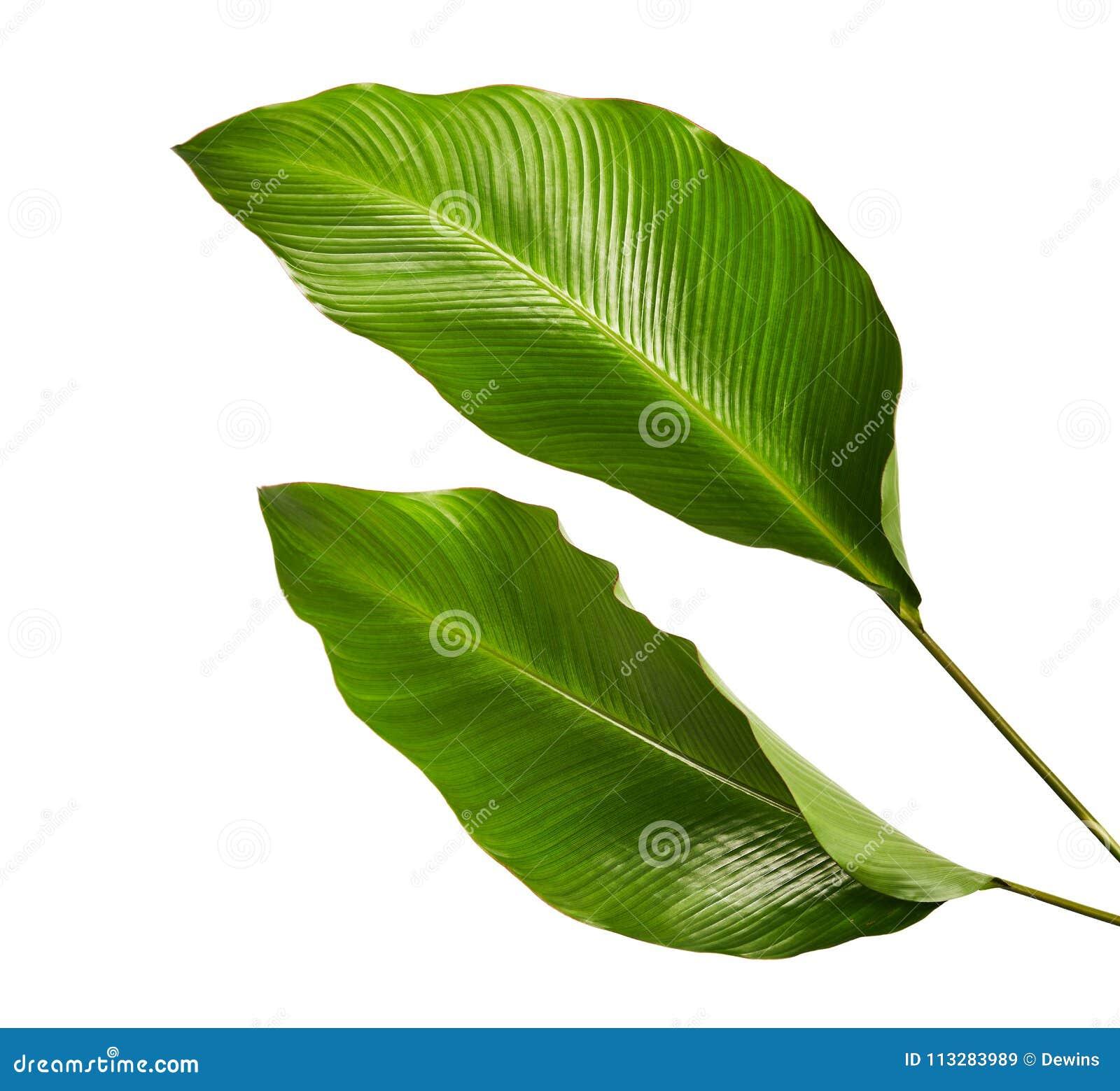 Calathea lövverk, exotiskt tropiskt blad, stort grönt blad som isoleras på vit bakgrund