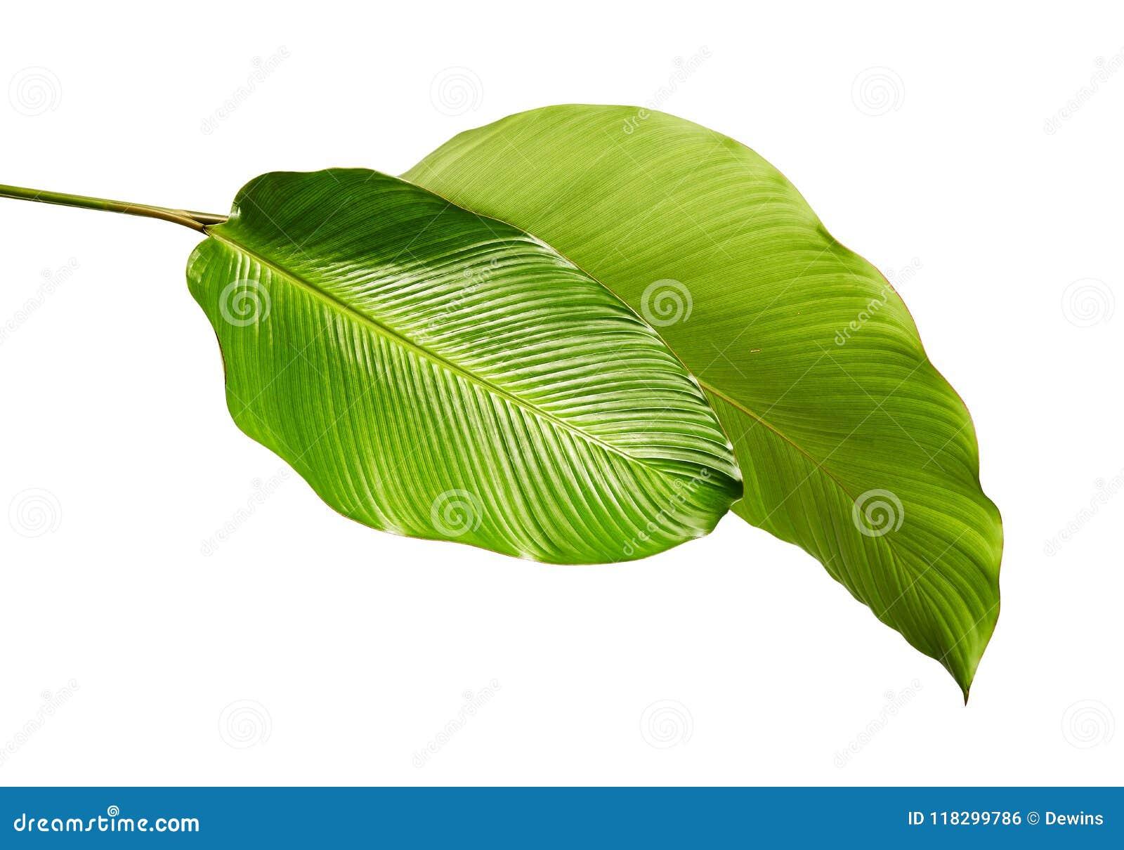 Calathea lövverk, exotiskt tropiskt blad, stort grönt blad som isoleras på vit bakgrund med den snabba banan