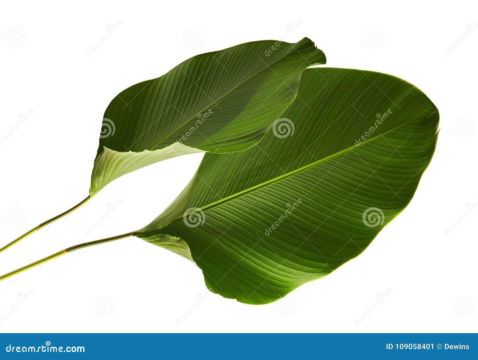 Calathea-lutea Laub, Zigarre Calathea, kubanische Zigarre, exotisches tropisches Blatt, Calathea-Blatt, lokalisiert auf weißem Hi