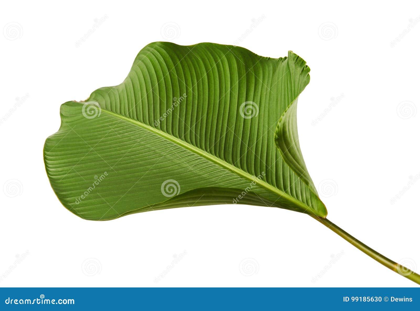 Calathea lutealövverk, cigarr Calathea, kubansk cigarr, exotiskt tropiskt blad, Calathea blad som isoleras på vit bakgrund med ge