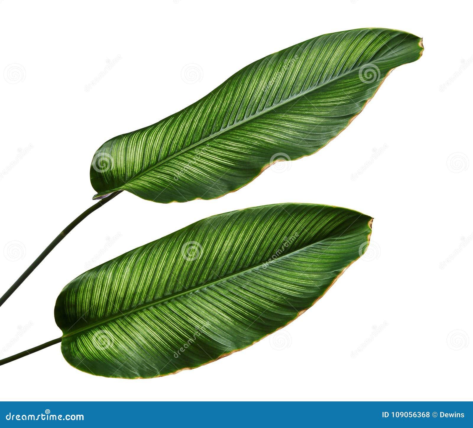 Calathea ornata Pin-stripe Calathea leaves, Tropical foliage isolated on white background, with clipping path