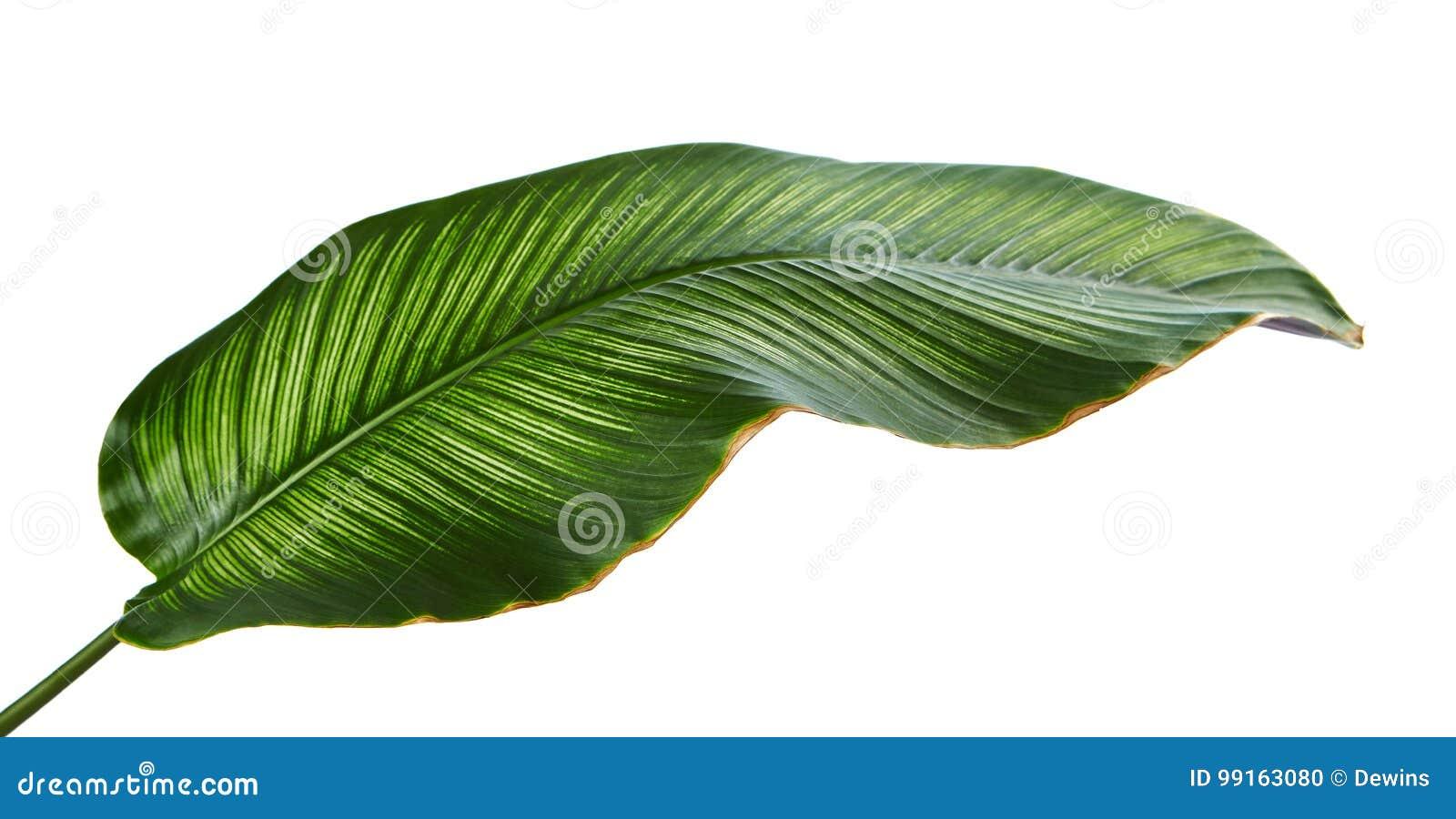 Calathea ornata Pin-stripe Calathea leaves, tropical foliage isolated on white background