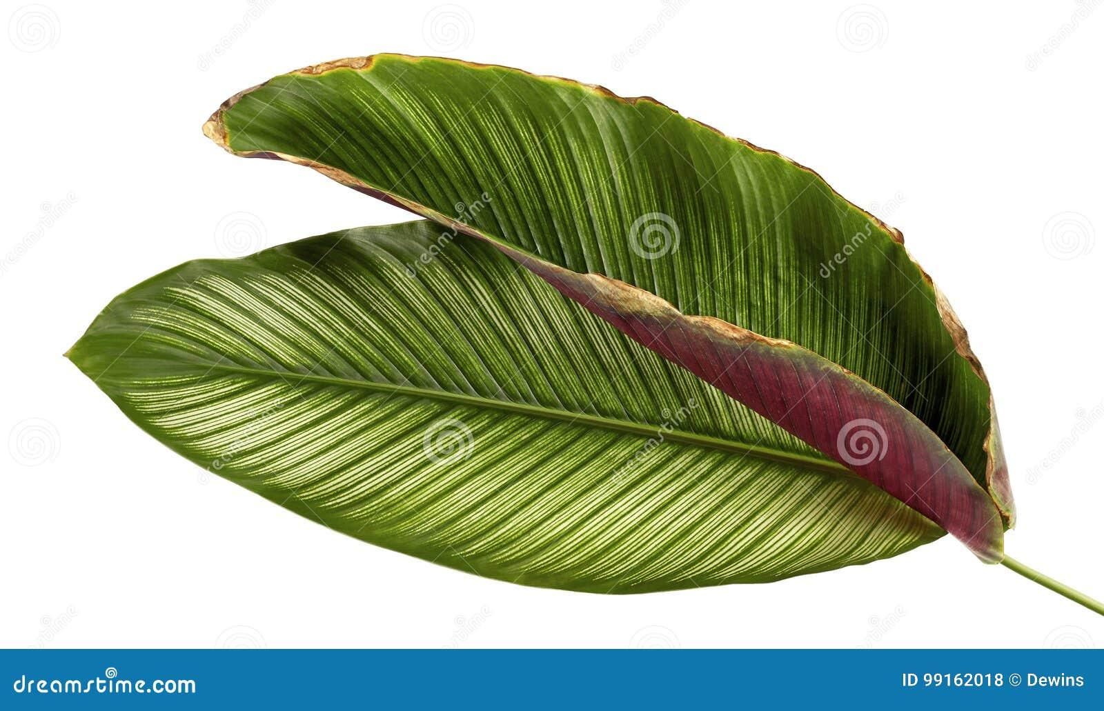 Calathea ornataStift-band Calathea sidor, tropisk lövverk som isoleras på vit bakgrund
