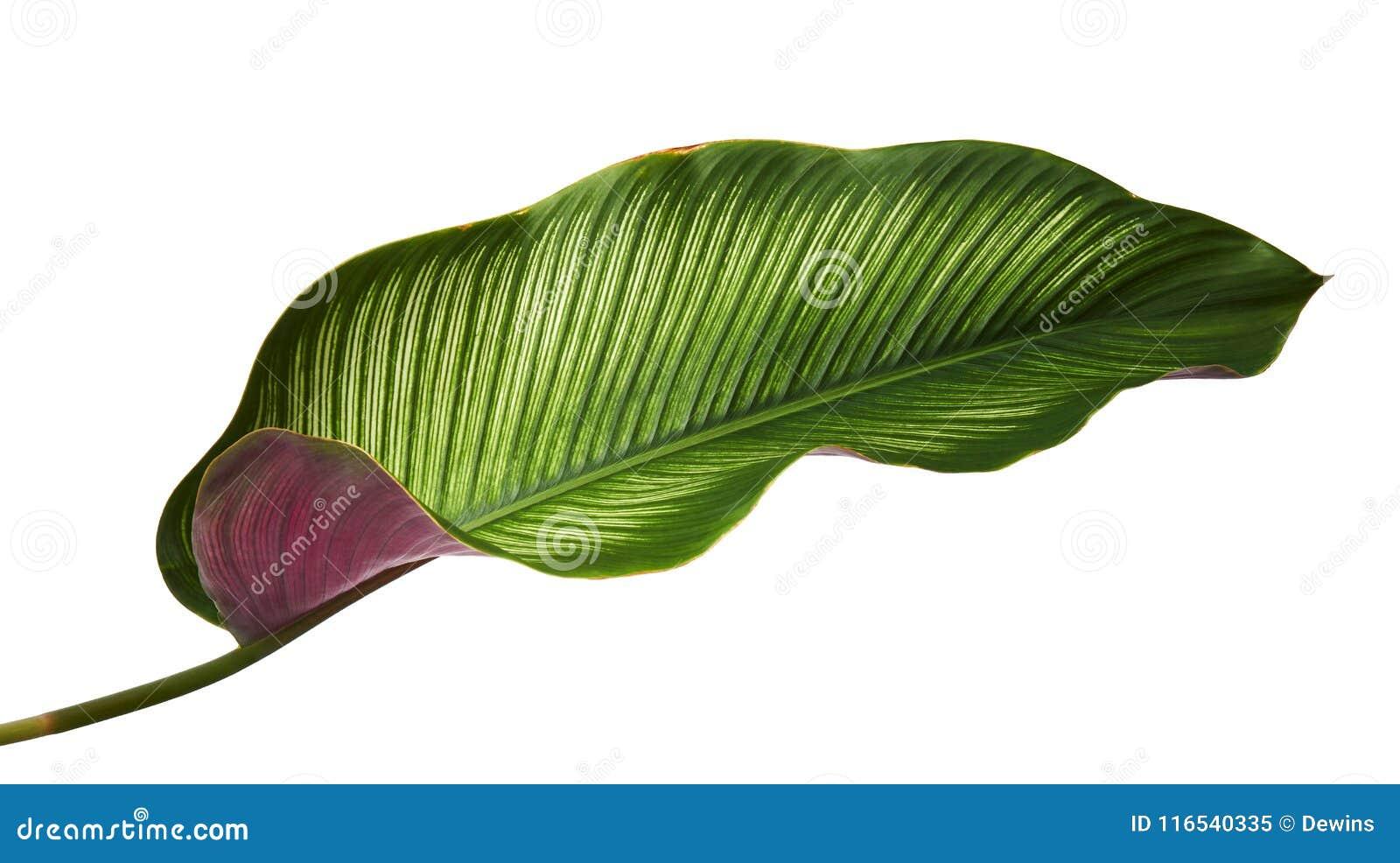 Calathea ornataStift-band Calathea sidor, tropisk lövverk som isoleras på vit bakgrund, med den snabba banan