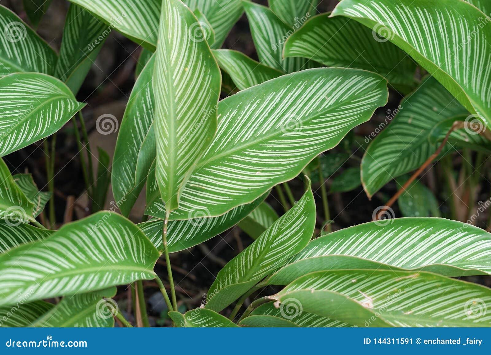 Calatheaornata Mooi verlofpatroon van Calathea-ornata, een tropische installatie inheems aan Zuid-Amerika Ook gekend als gestreep