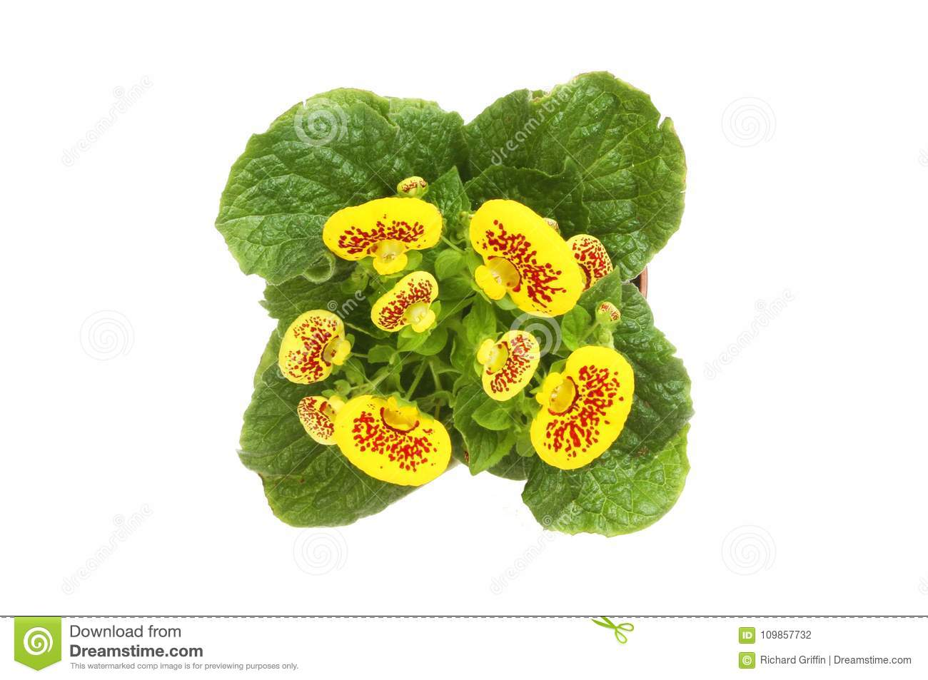 Calceolaria flowers isolated