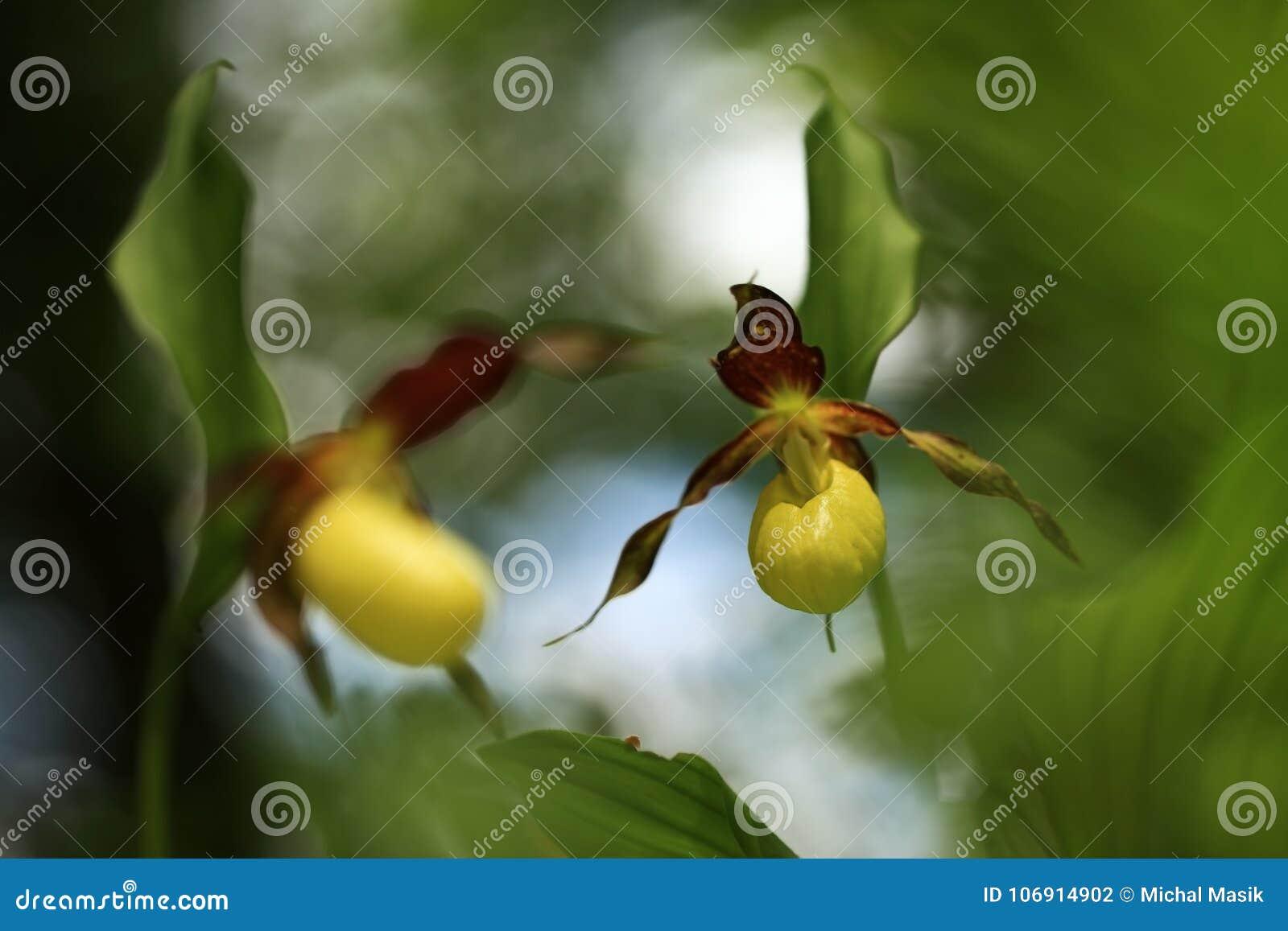 Calceolus cypripedium kwiatu kierpec rośliny szalunek Ten orchidea znajdują w republika czech przy w przybliżeniu 100 miejscowośc