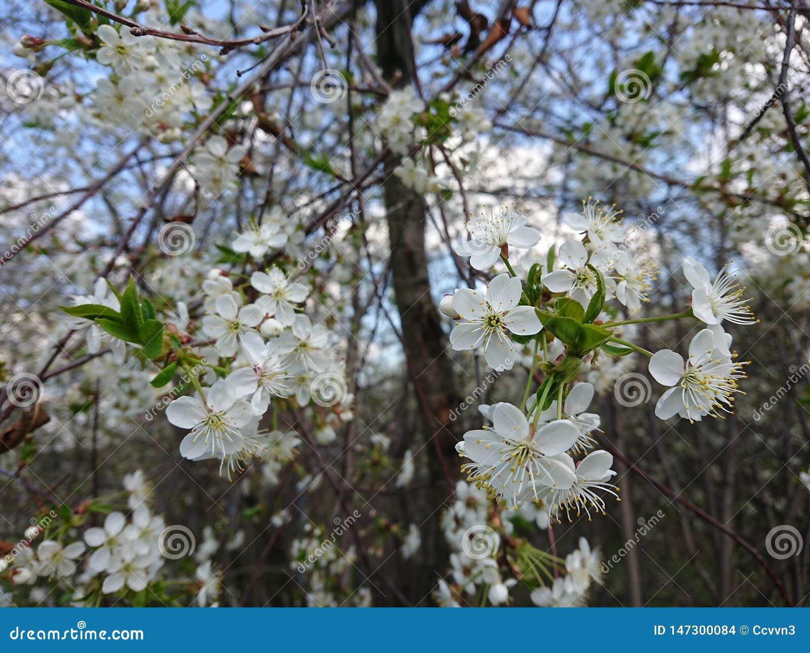 Caldo all inizio di maggio Sotto Kazan hanno fiorito i giardini I bombi e le api raccolgono disposto il nettare