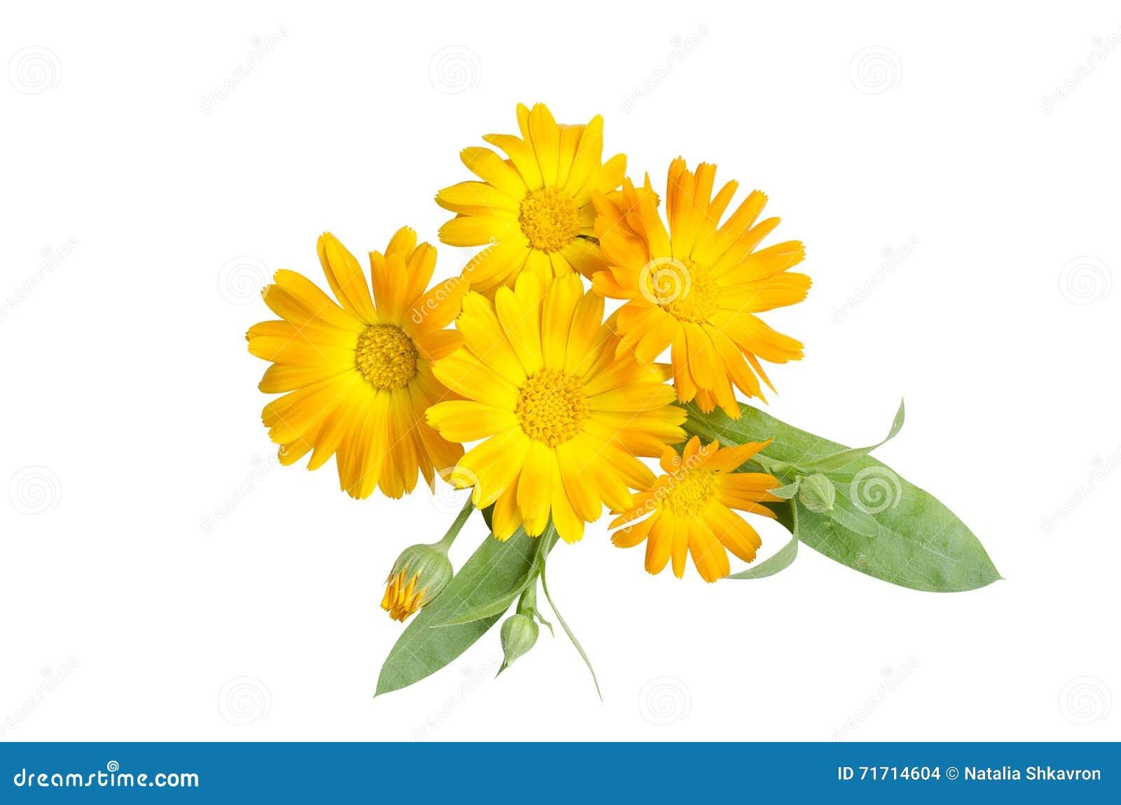 Calendula, fleurs jaunes sur un fond blanc