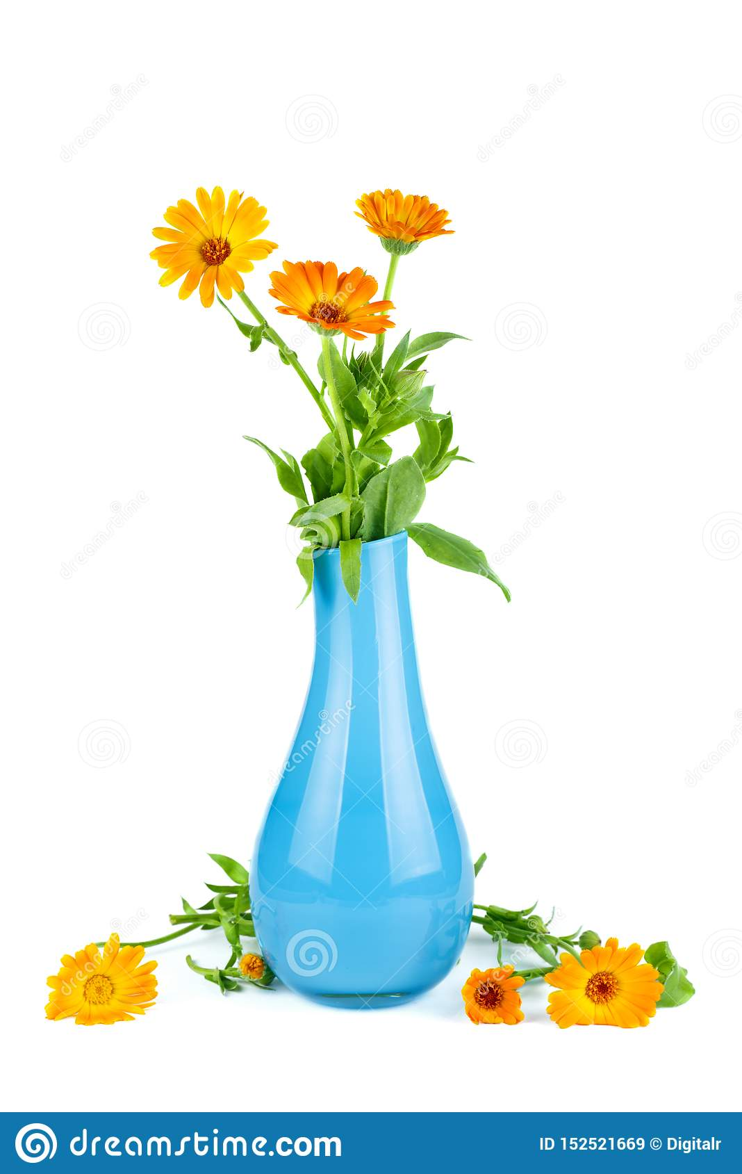 Calendula Marigold Flowers In Blue Ceramic Vase Stock Image Image Of Orange Herbal 152521669