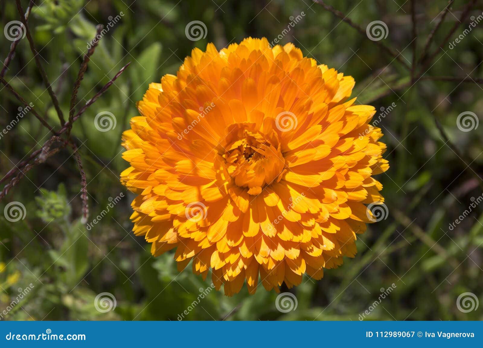 Calendula officinalis flower in bloom