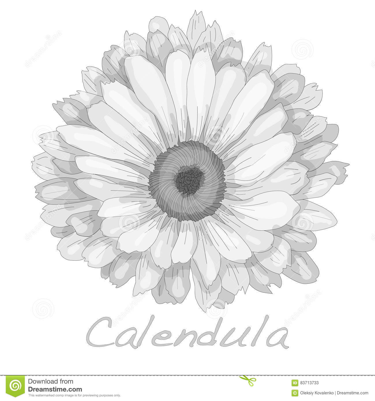 Calendula Vector Illustration Stock Vector