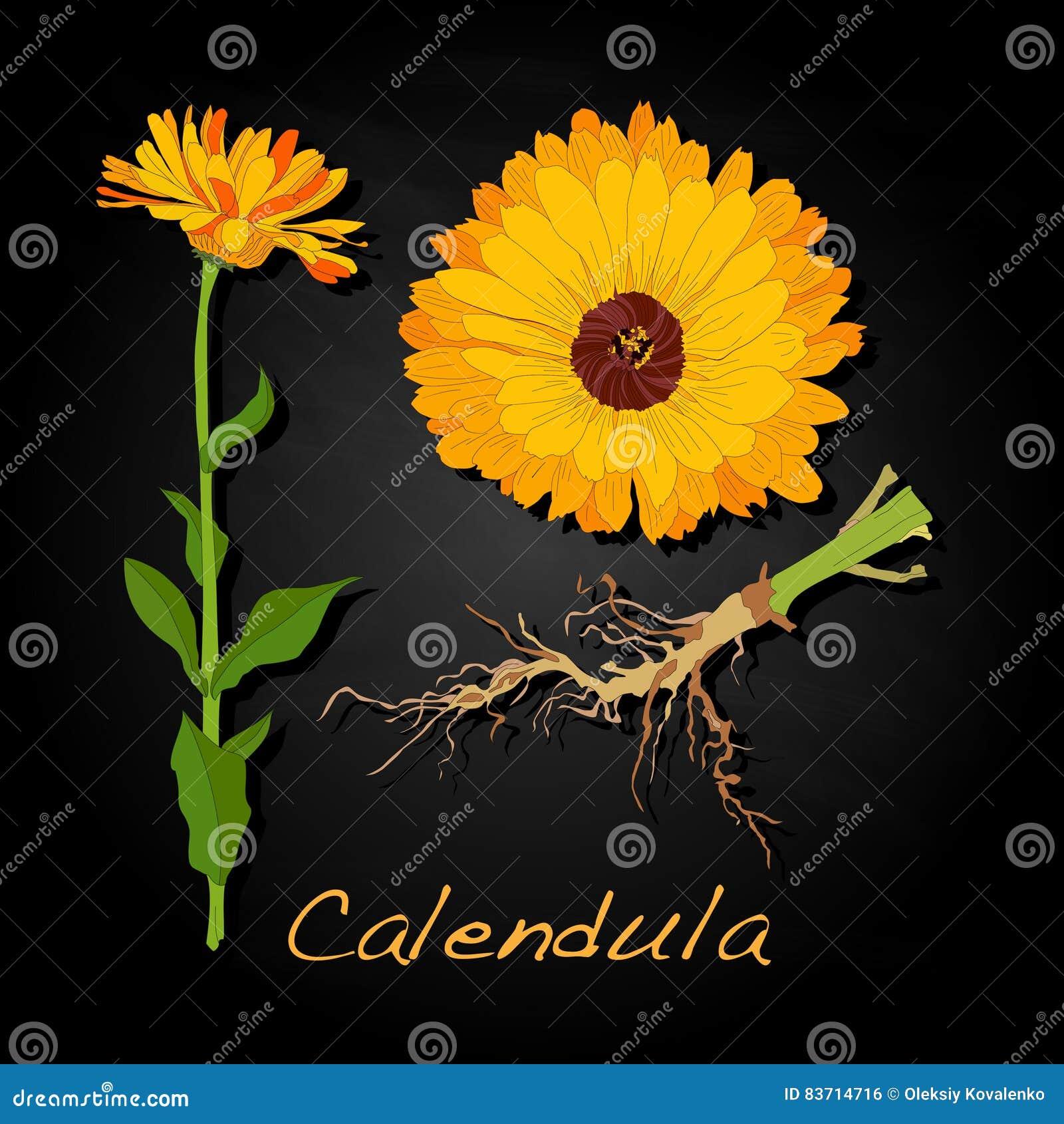 Calendula Vector Illustration Stock Vector