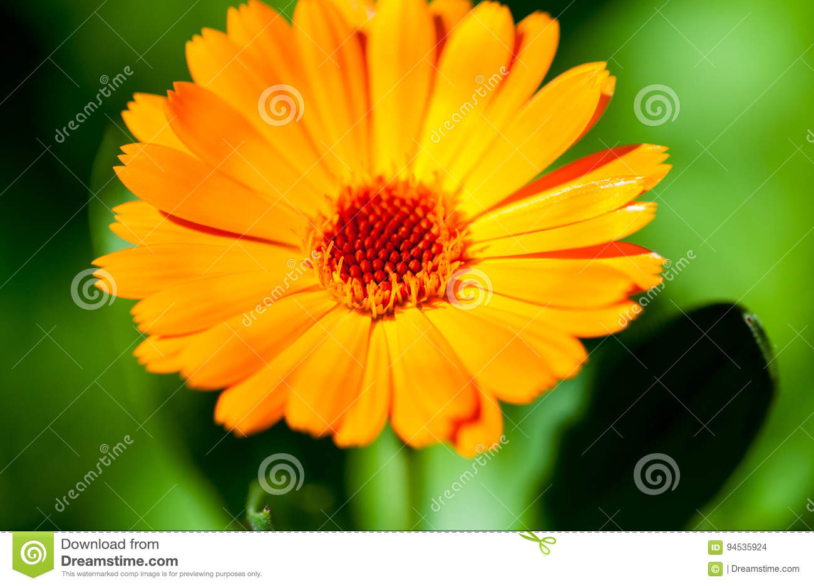 Calendula zamkniętego dzień kwiatu pogodny up