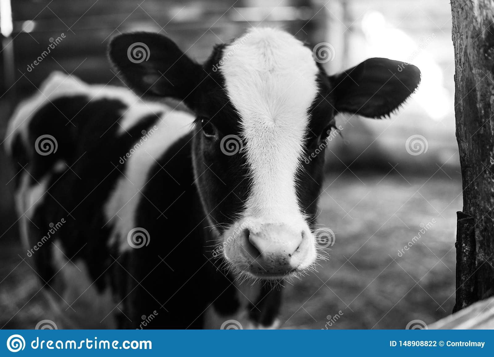 Beautiful Big Cow On The Farm Among A Lot Of Hay Black And White Photo Stock Photo Image Of Black Beef 148908822