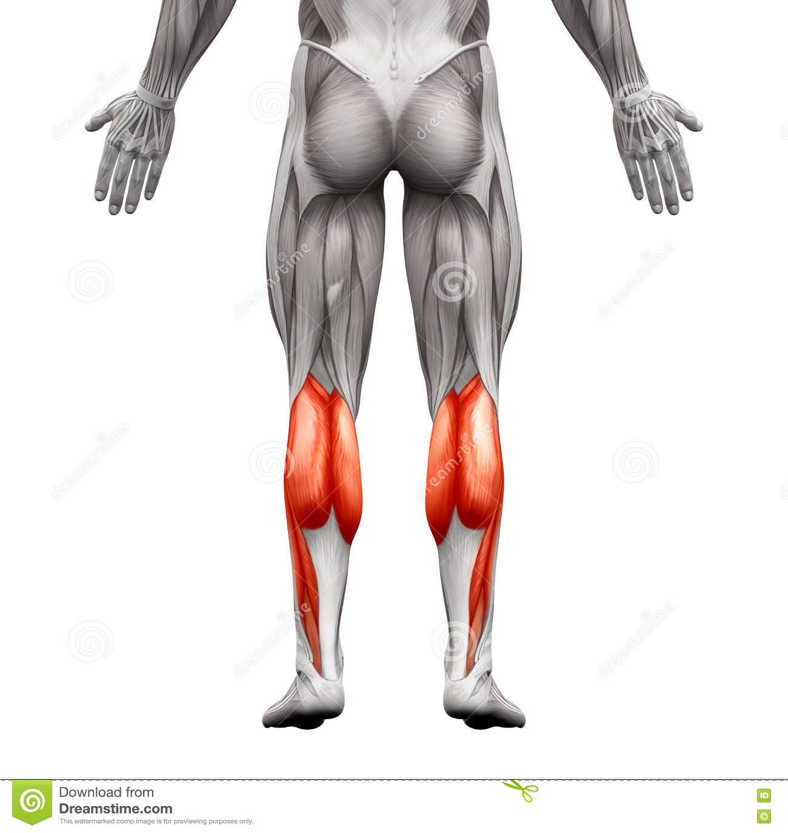 Calf Muscle Male