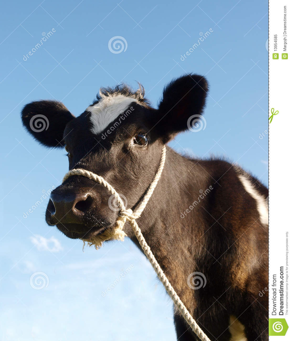 calf with rope halter royalty free stock photo image