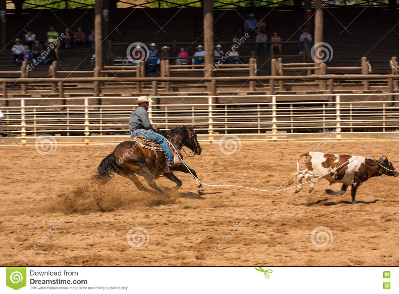 Calf Roping Competition At Rodeo In South Dakota Editorial