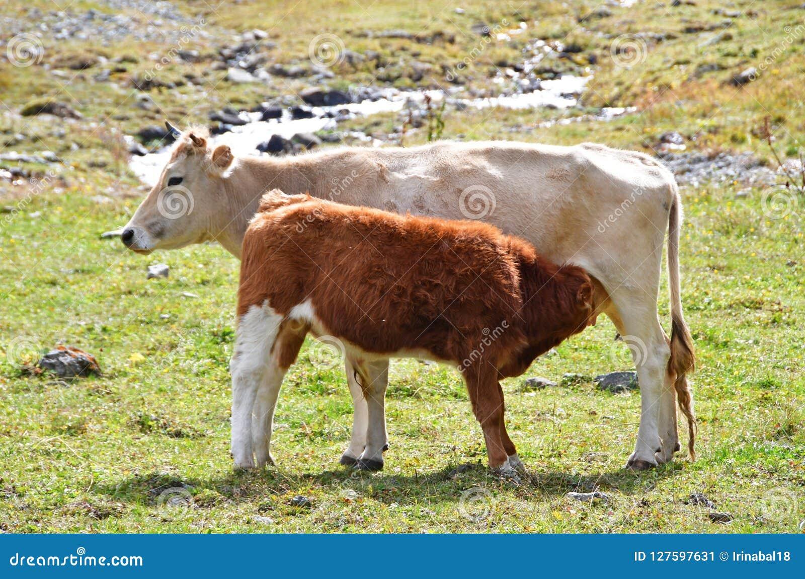 Calf sucks milk from cow