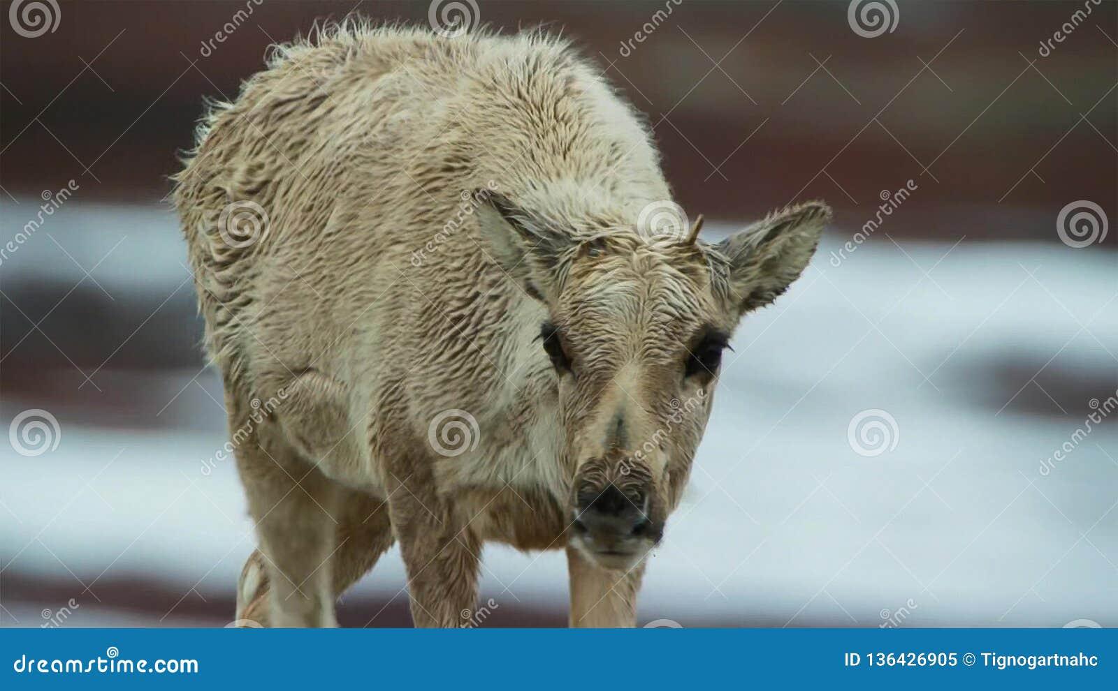 Calibou女性jouneyed对远北部对小牛和寻找的新的新鲜的草 北俄罗斯