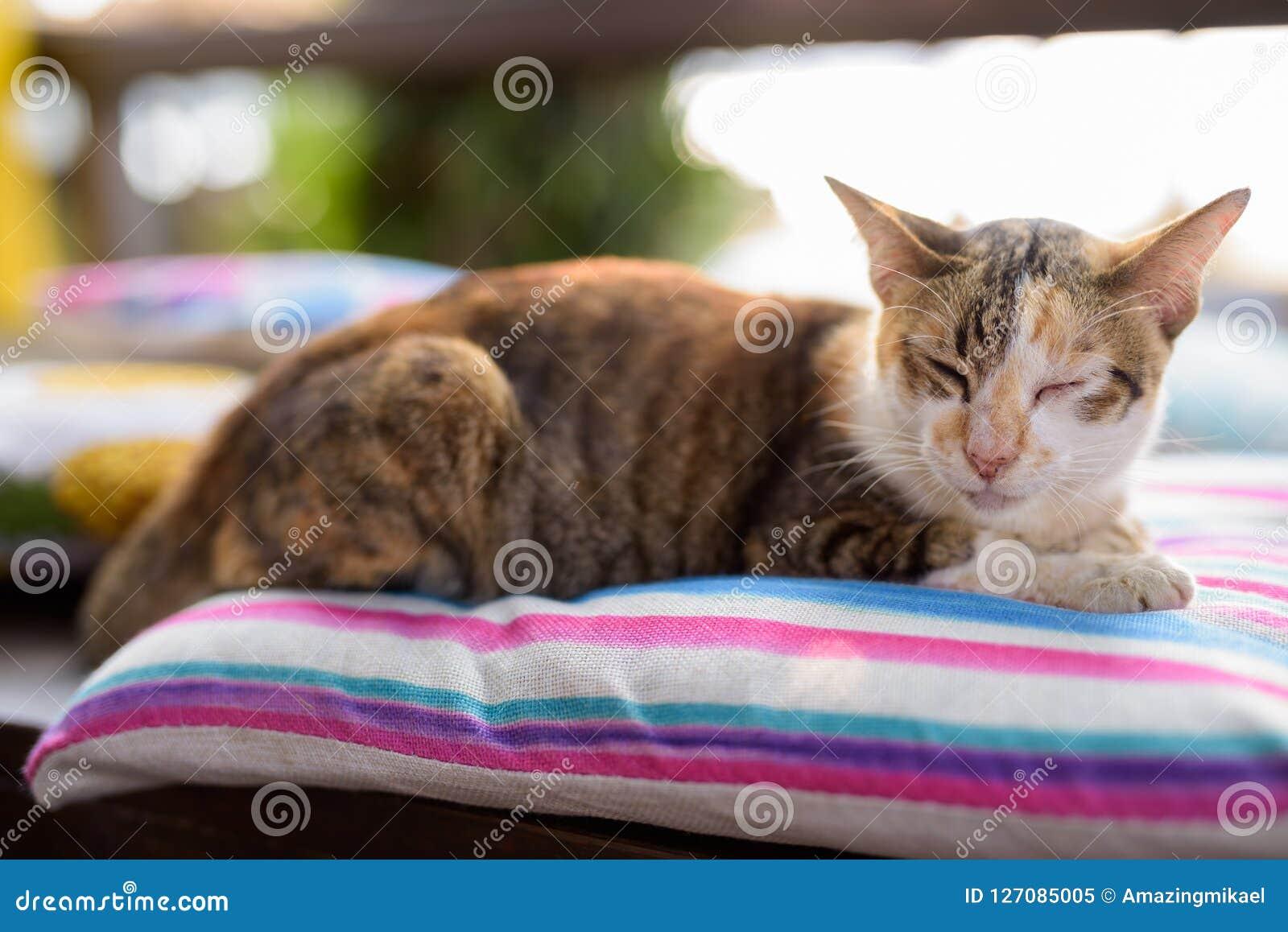 Calicó lindo Cat Sleeping On The Cushion
