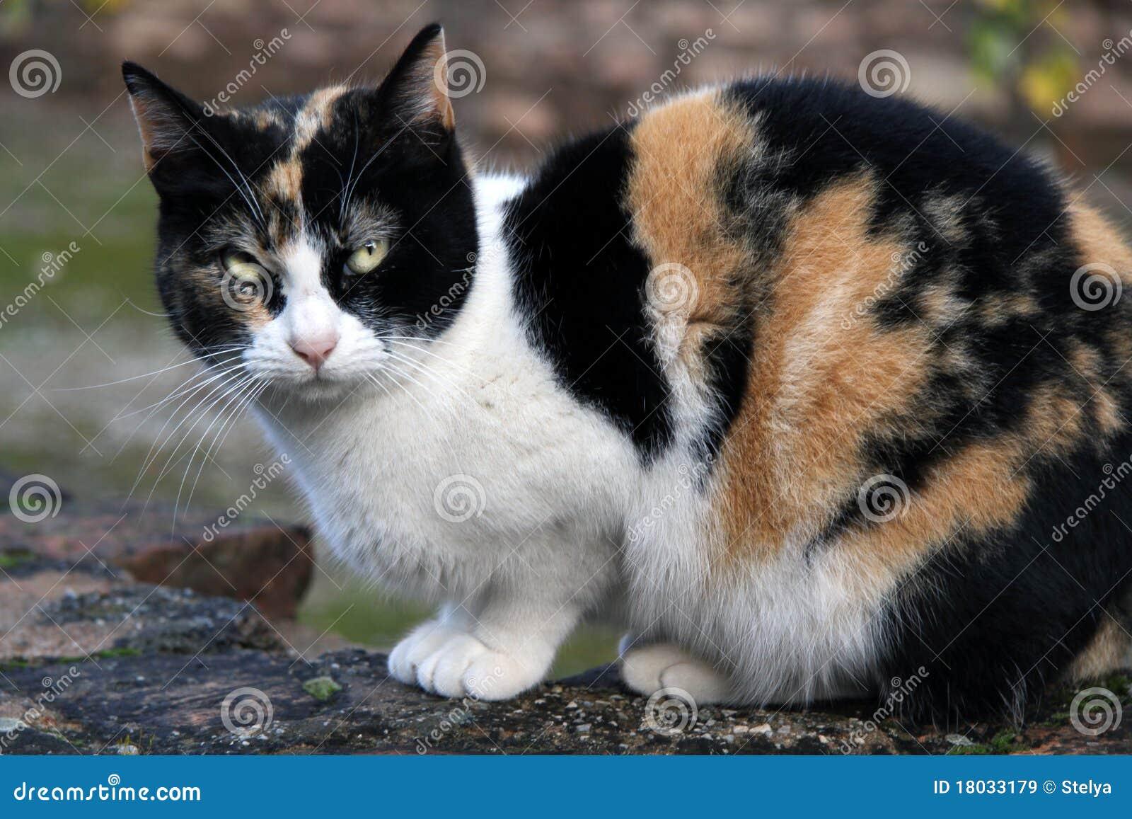 Black Calico Cat Calico Cat