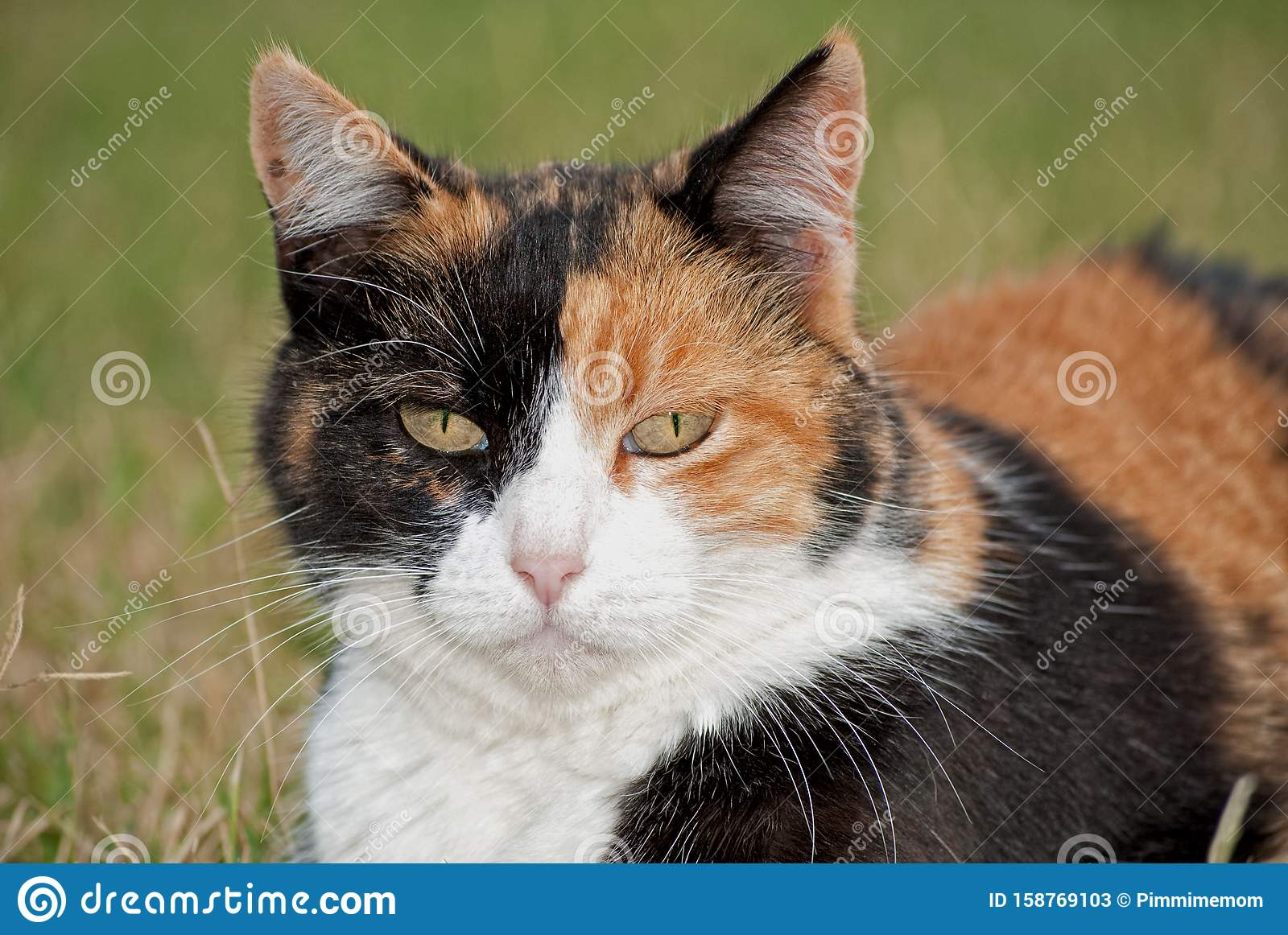 Calico Cat With Different Color Face Halves Stock Image Image Of Tortie Tricolor 158769103