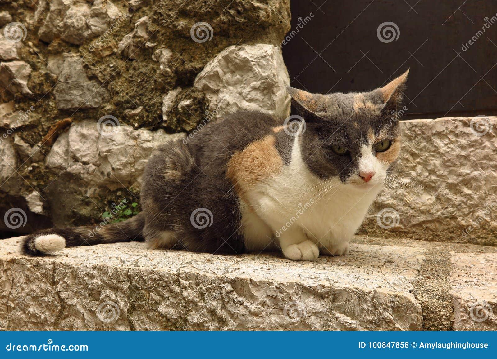 Calico cat on stone step stock photo  Image of street - 100847858