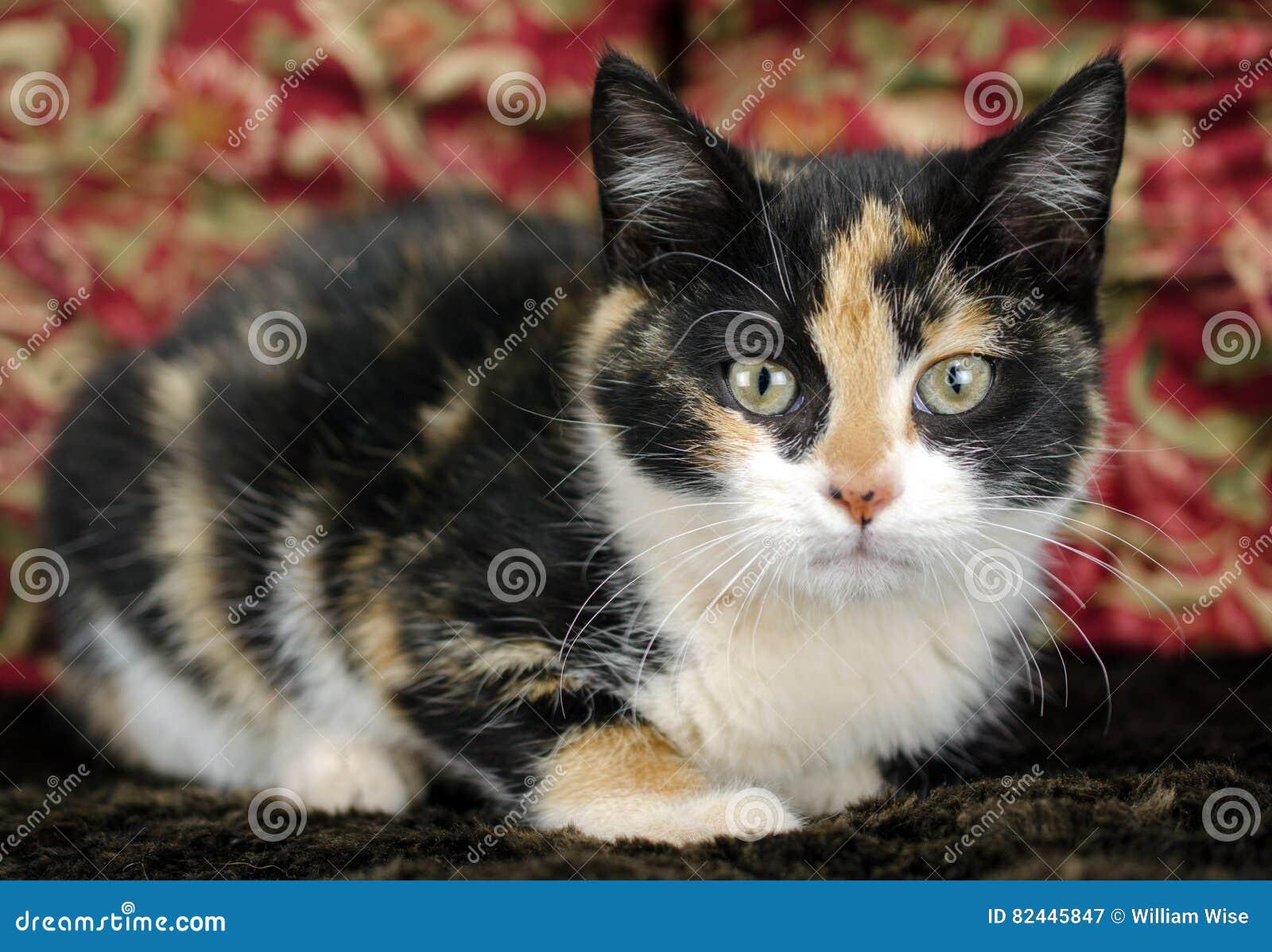 Calico Kitten Adoption Walton County Animal Control Stock