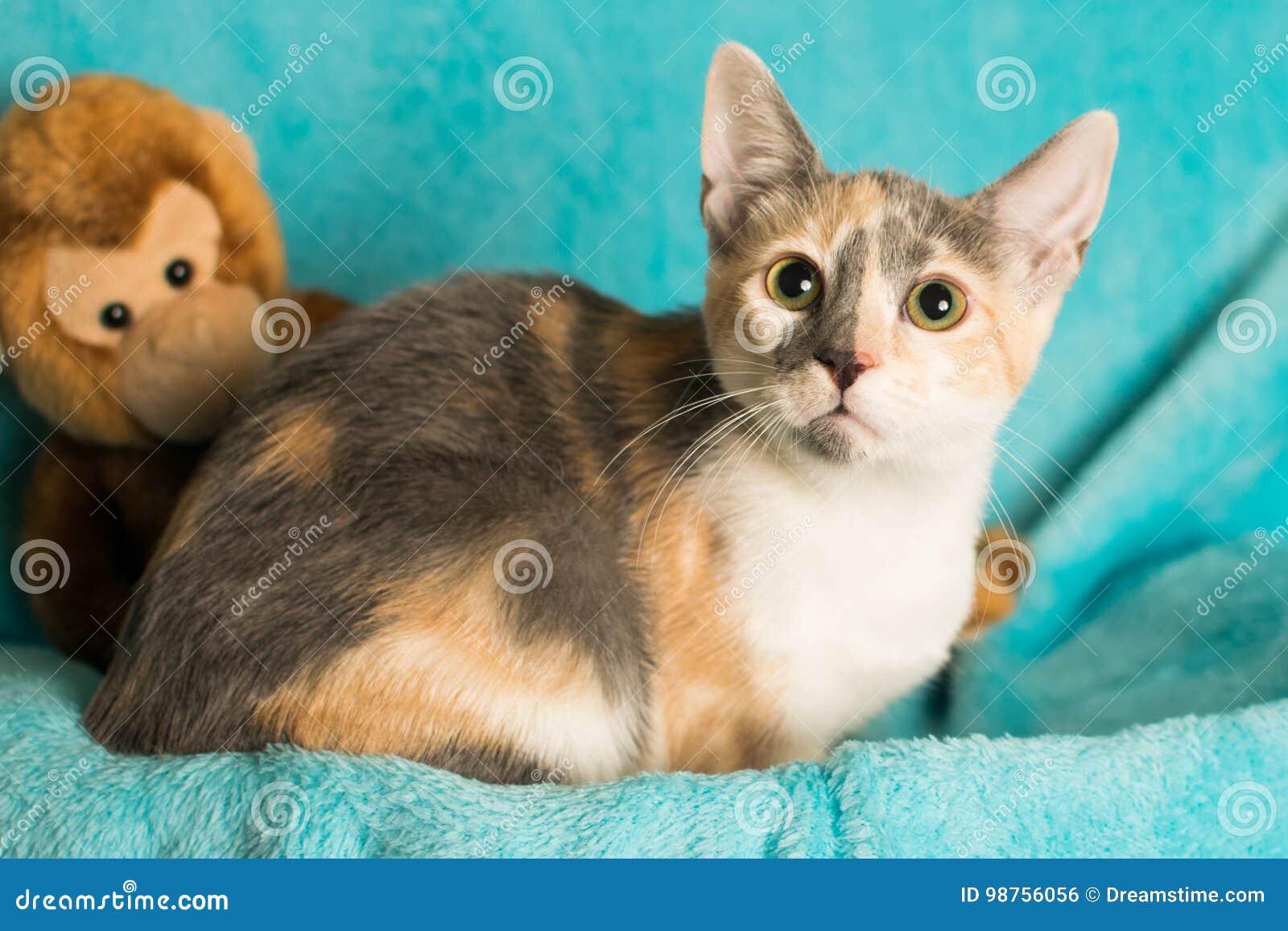 Calico kitten stock photo  Image of grey, long, eyes - 98756056