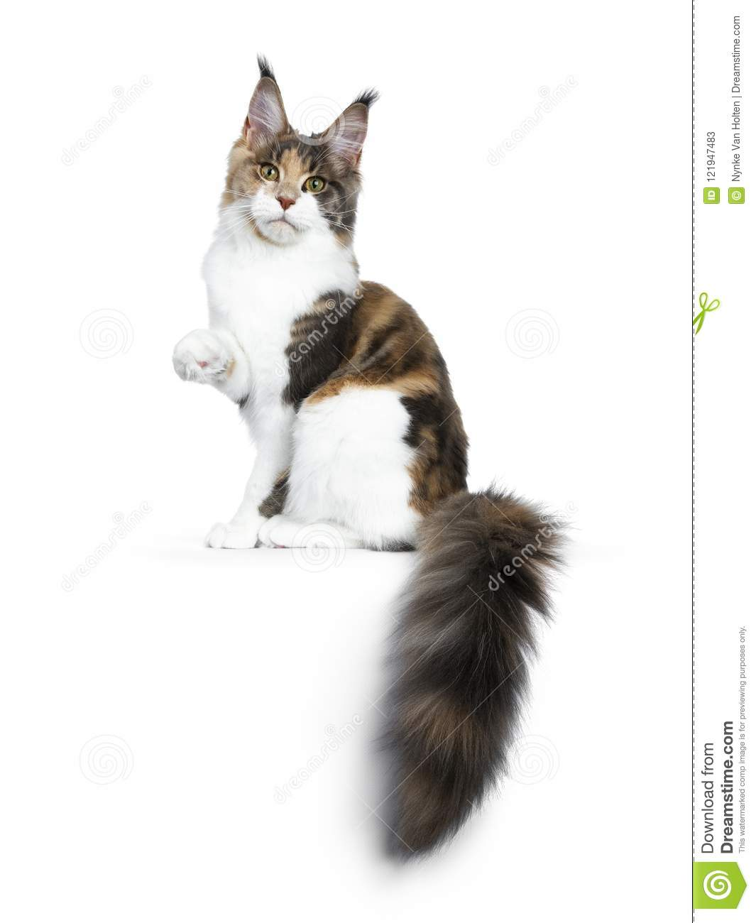 bb2edcc5e2 Pretty Calico Maine Coon Cat Girl Sitting Side Ways With Tail ...