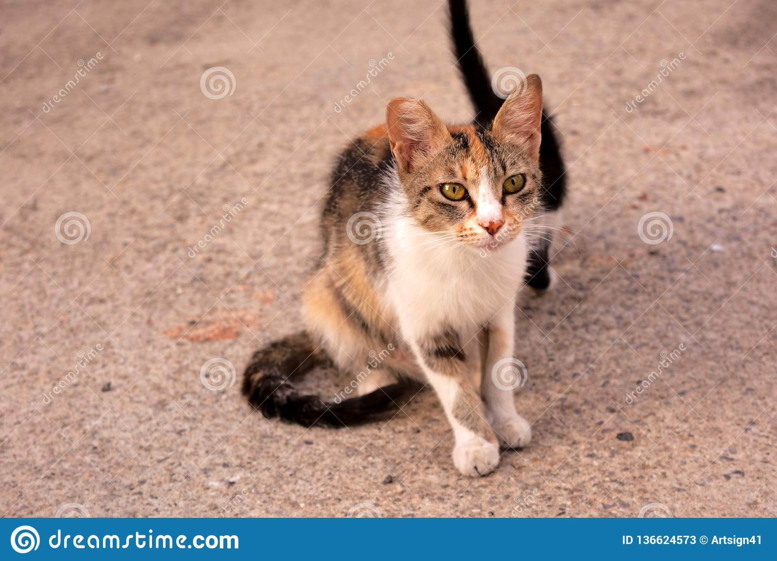 Calico Tabico stray cat mum with her kitten