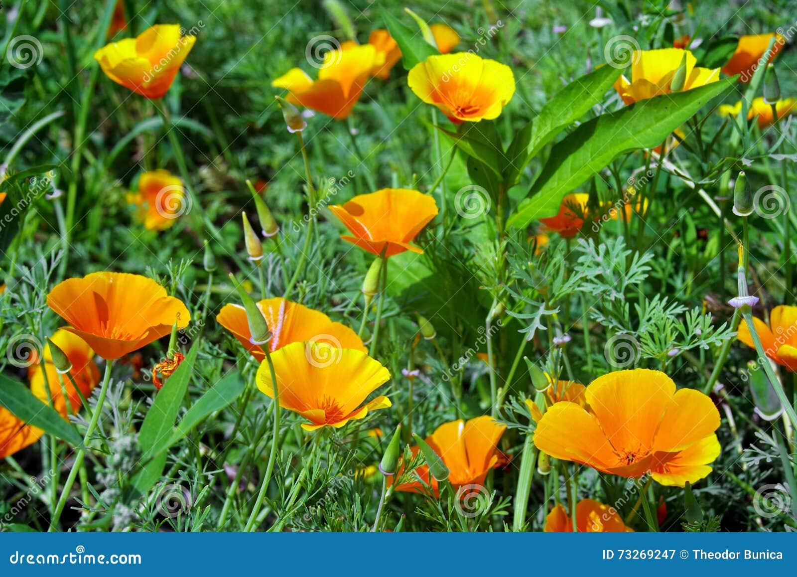 Californië poppys