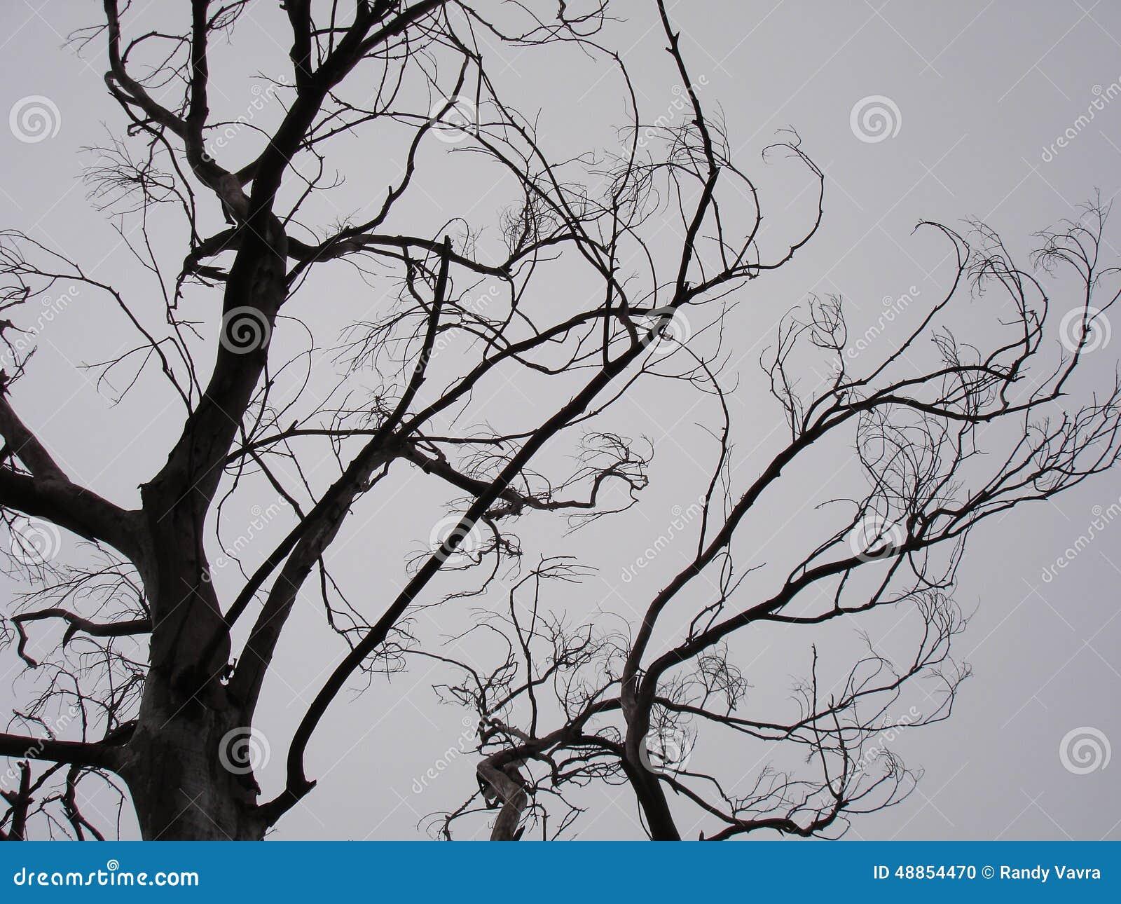 California Black Oak  ...