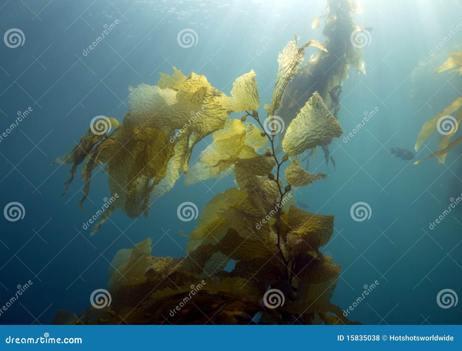 California Catalina lasowy wyspy kelp underwater