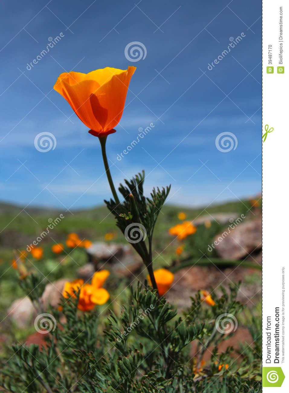 California Golden Poppy Flowers Big Sur Highway 1 California