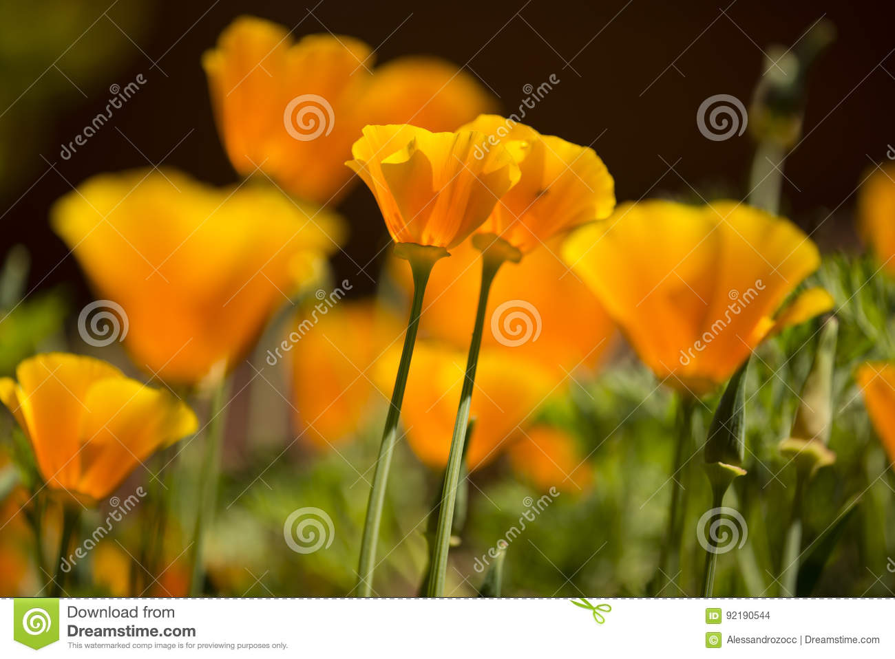California Golden Poppy Flowers Stock Photo Image Of Flower