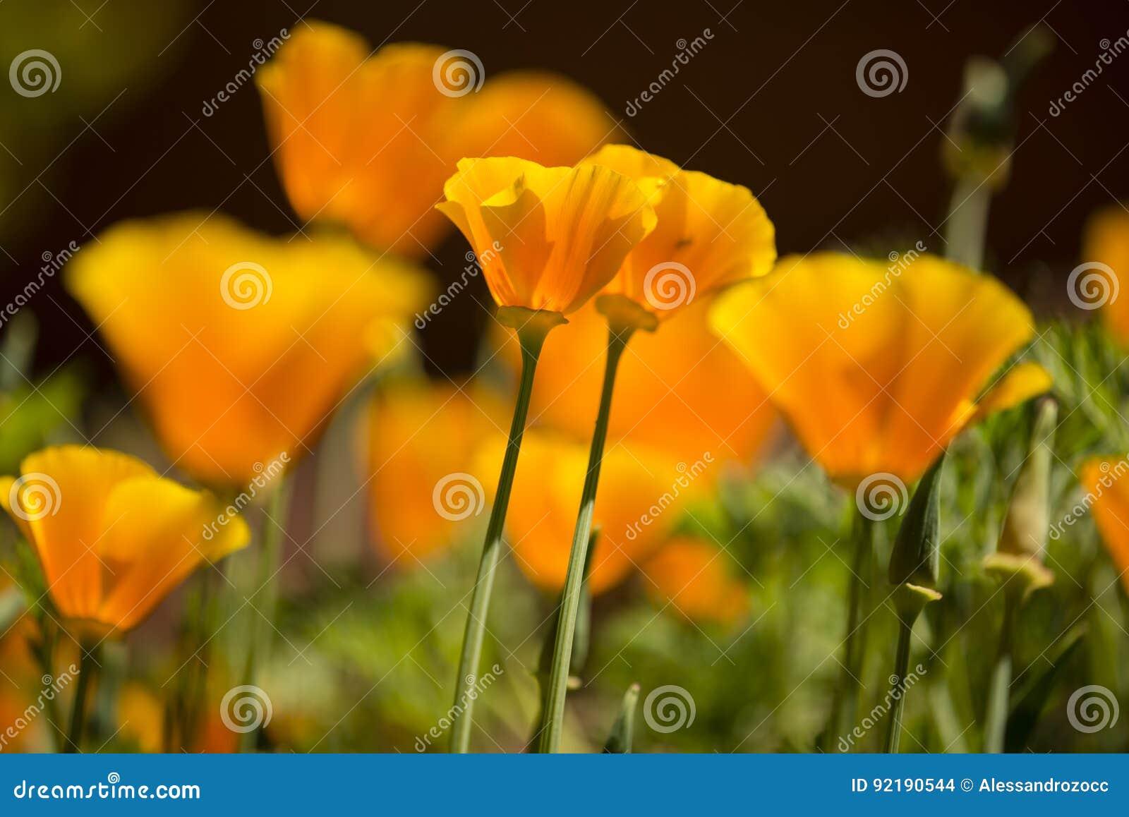 California Golden poppy flowers