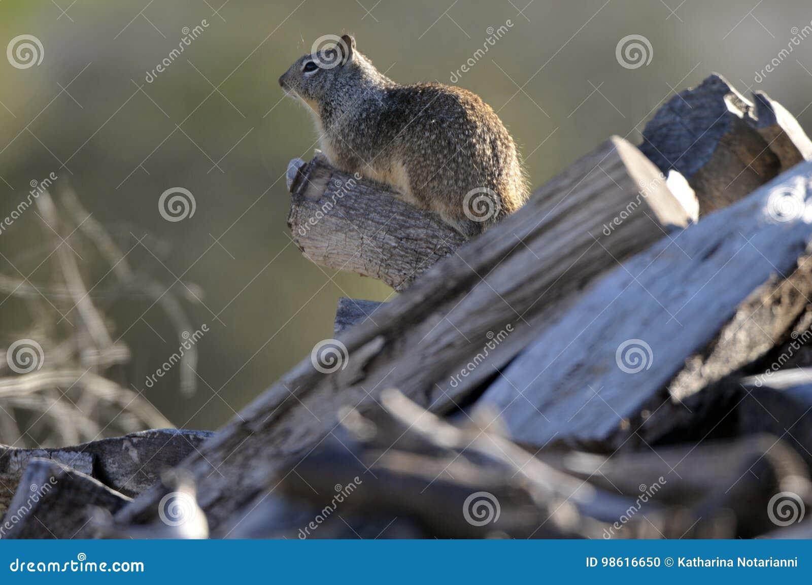 California ground squirrel Otospermophilus beecheyi Close Up